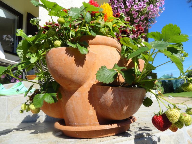 Kodune maasikakasvatus