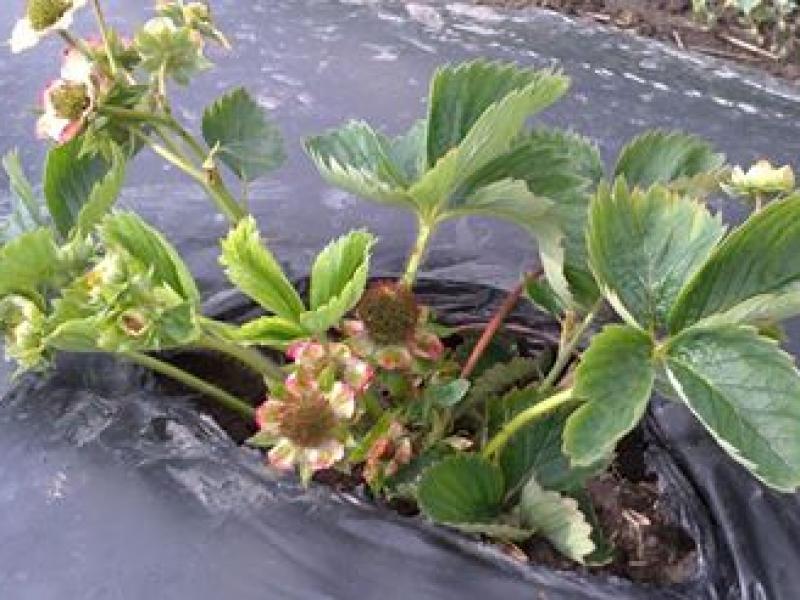 Mõni Sonata taim kasvas hoopis selliseks. Hiljem olid viljad samuti teistmoodi. Seemnete asemel kasvasid marjal juba lehed.