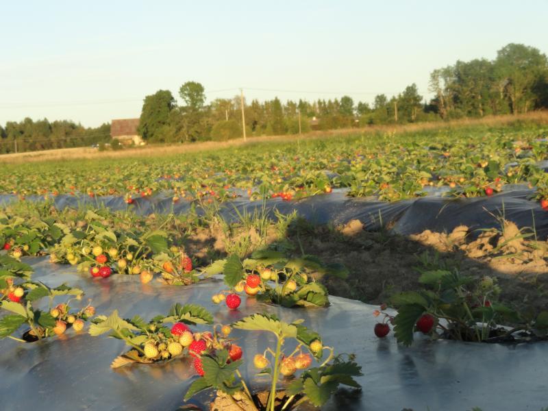õhtune päikseloojang maasikatega